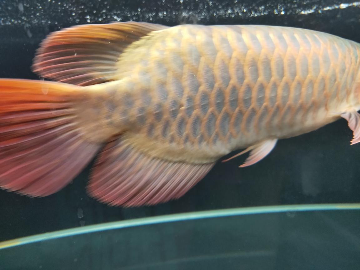入黑缸一个月以后得表现 南京龙鱼论坛 南京龙鱼第3张