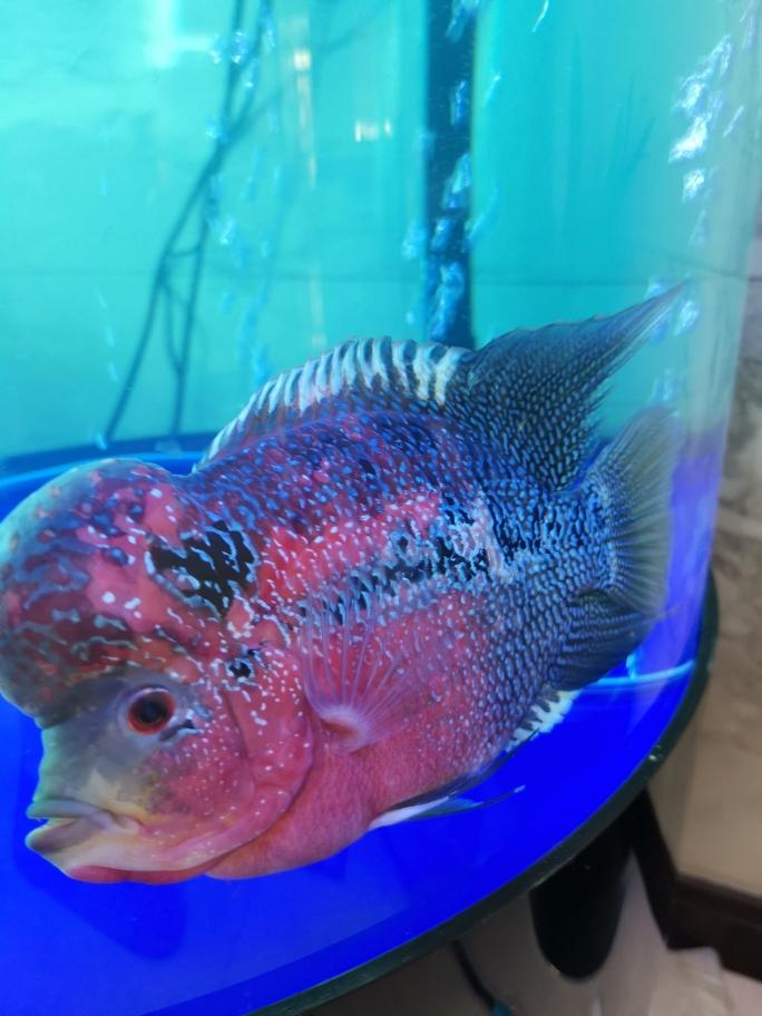 大家看下这个是鹦鹉还是长沙水族鱼缸批发价格罗汉 长沙龙鱼论坛 长沙龙鱼第2张