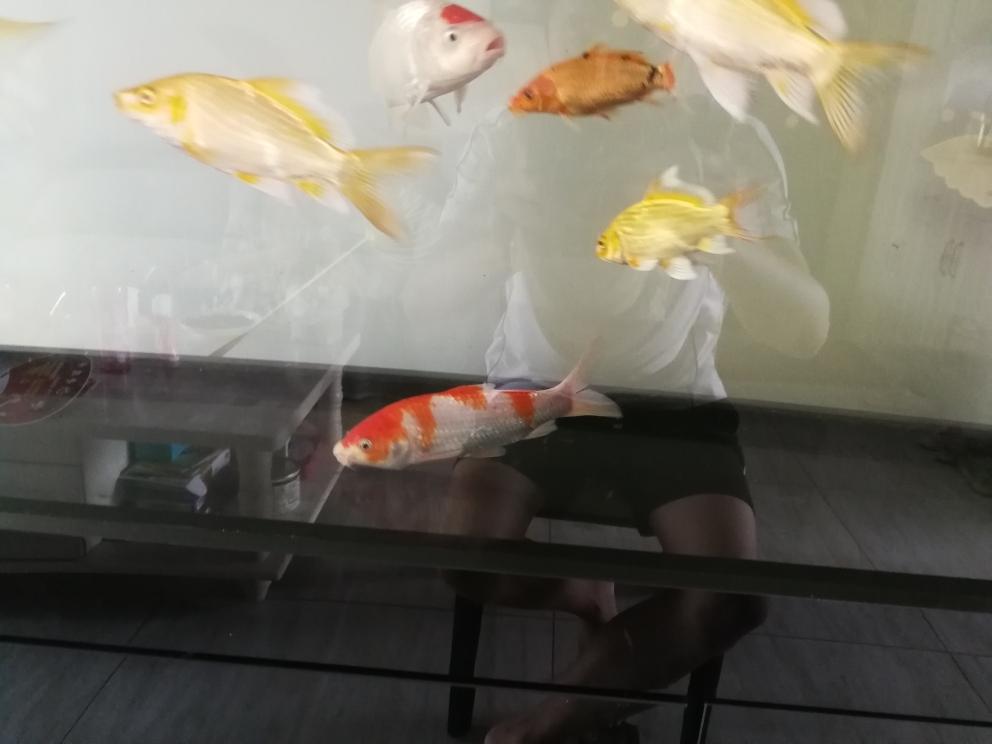 新购2条精品鱼 太原观赏鱼 太原龙鱼第5张