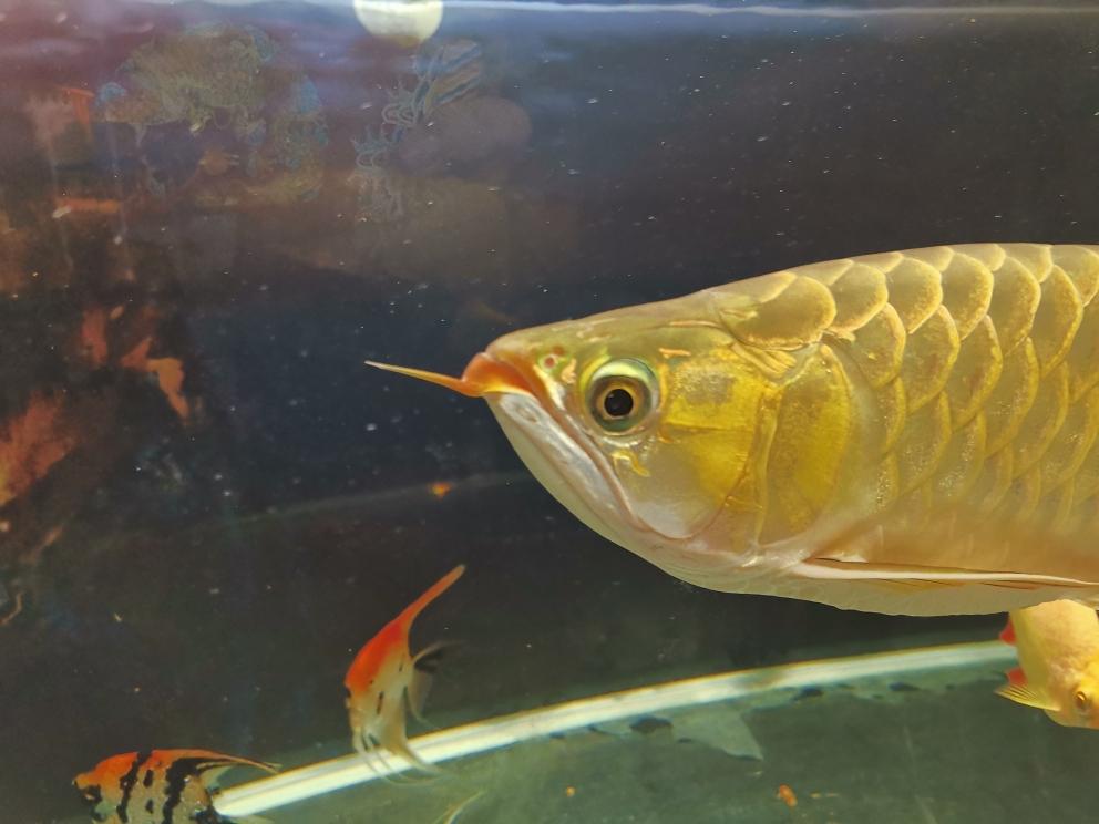 这是什么?传说中起泡? 西安观赏鱼信息 西安博特第2张