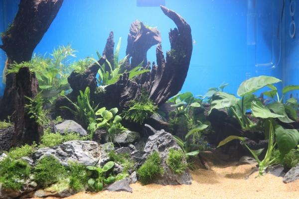 石家庄水族箱制作培训对黑毛藻产生成因的一点疑问石家庄蝙蝠鲳价格 石家庄龙鱼论坛 石家庄龙鱼第5张