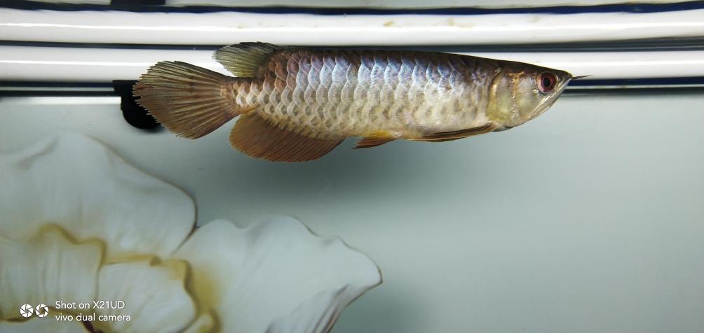 长沙斑马鸭嘴刚请了条小过背大家给掌掌眼 长沙观赏鱼 长沙龙鱼第1张