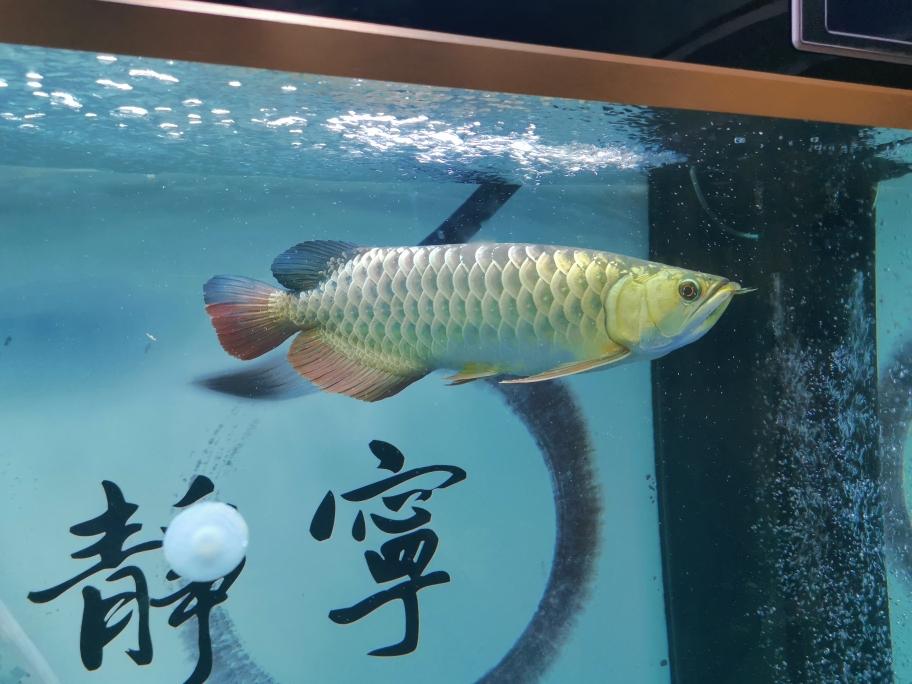 济南泰金罗汉鱼过背金龙和古典金龙的故事 济南观赏鱼 济南龙鱼第4张