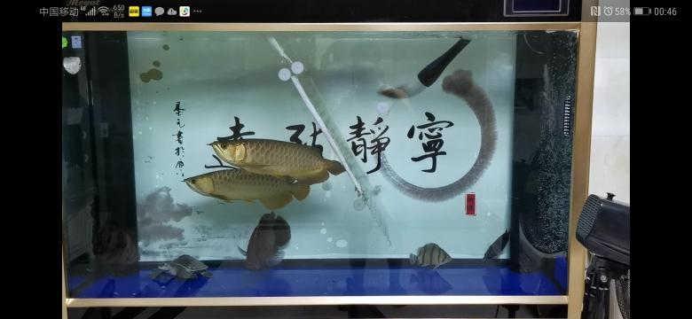 济南泰金罗汉鱼过背金龙和古典金龙的故事 济南观赏鱼 济南龙鱼第5张