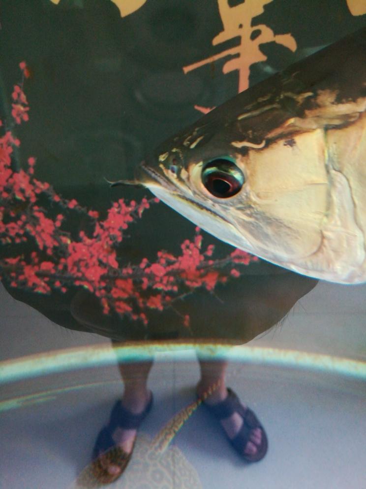 龙鱼胡须上有丝线一样的絮状物 杭州水族批发市场 杭州龙鱼第1张