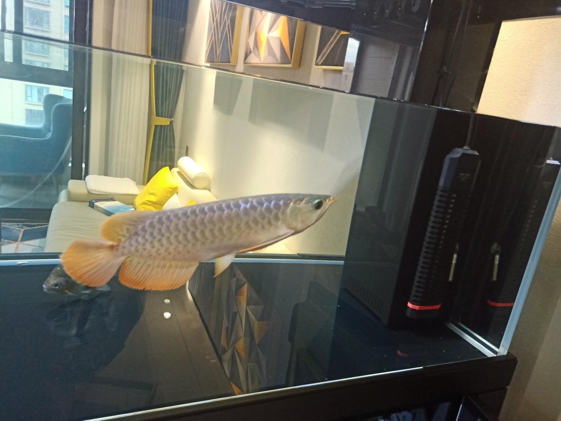 红外线长的好快 银川水族批发市场 银川龙鱼第1张