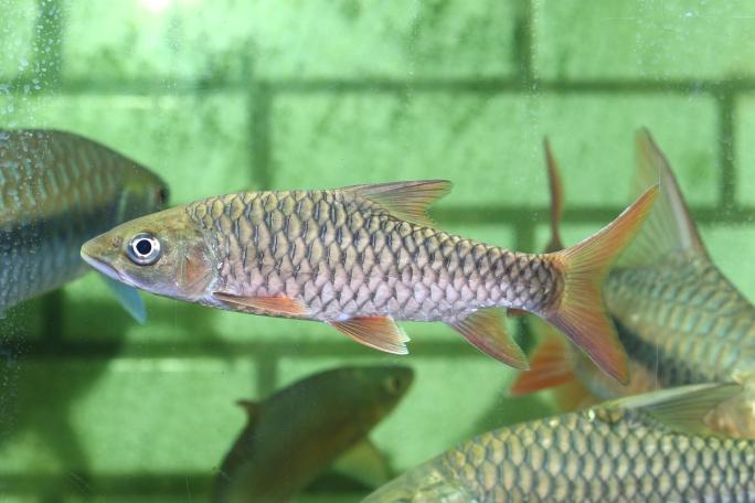 长沙罗汉鱼批发靓仔吉罗 长沙观赏鱼 长沙龙鱼第9张