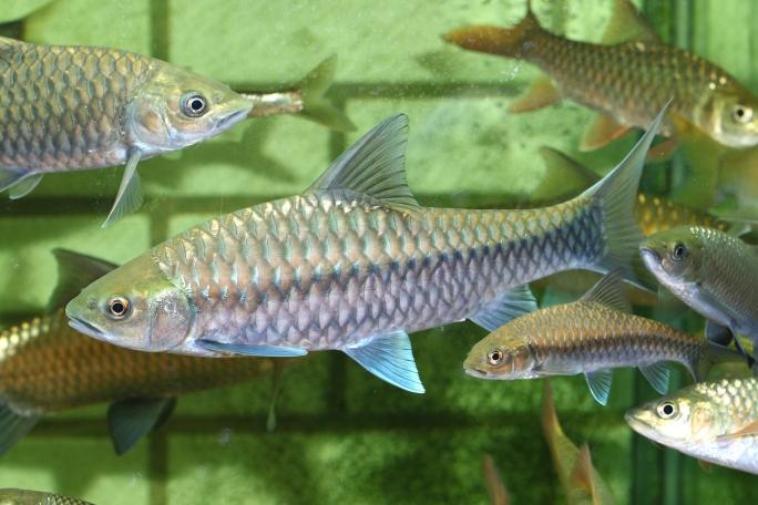 长沙罗汉鱼批发靓仔吉罗 长沙观赏鱼 长沙龙鱼第3张