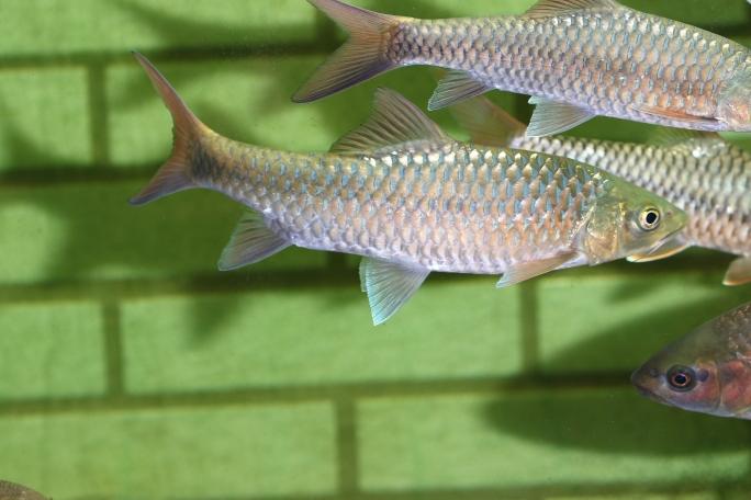长沙罗汉鱼批发靓仔吉罗 长沙观赏鱼 长沙龙鱼第6张