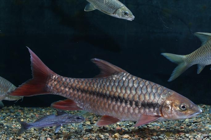 济南热带鱼鲤鱼王 济南观赏鱼 济南龙鱼第5张