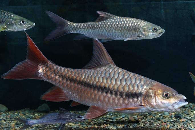 济南热带鱼鲤鱼王 济南观赏鱼 济南龙鱼第4张