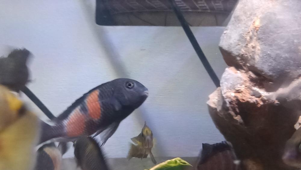 三湖慈鲷蝴蝶金间双星等等一堆 西安观赏鱼信息 西安博特第6张