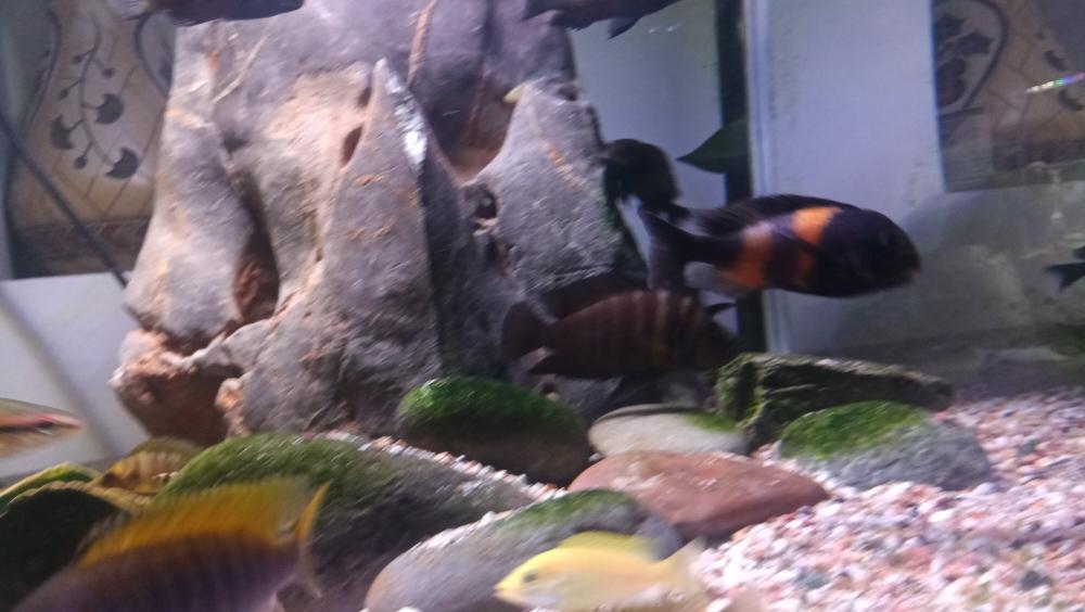 三湖慈鲷蝴蝶金间双星等等一堆 西安观赏鱼信息 西安博特第7张