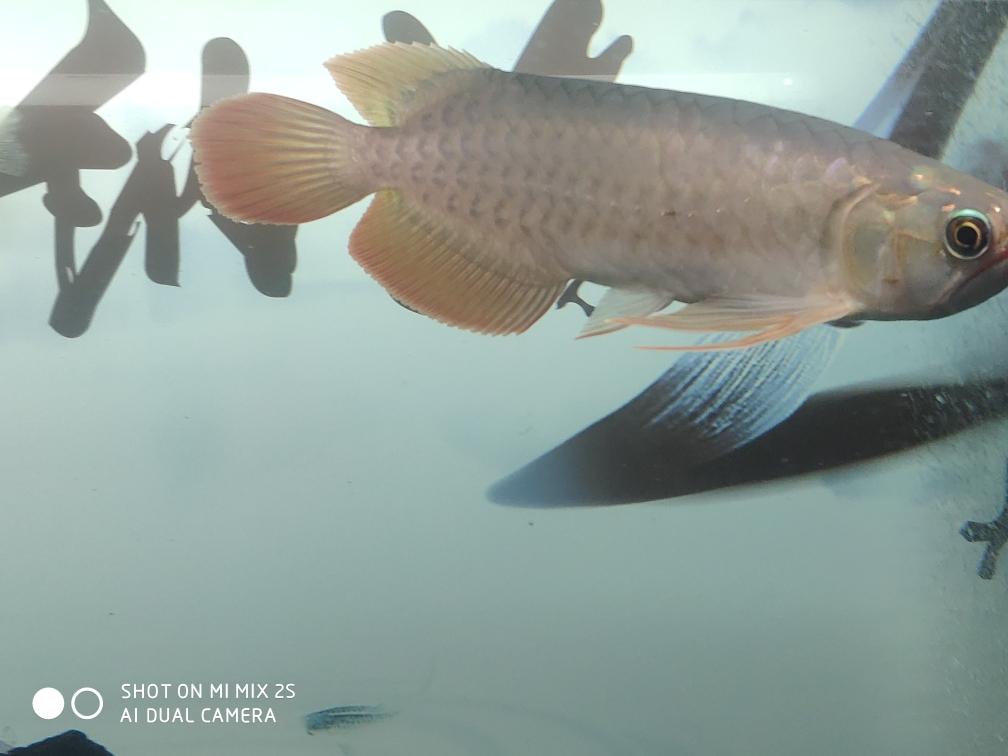 济南银龙鱼养几条风水好深夜记录成长 济南观赏鱼 济南龙鱼第2张