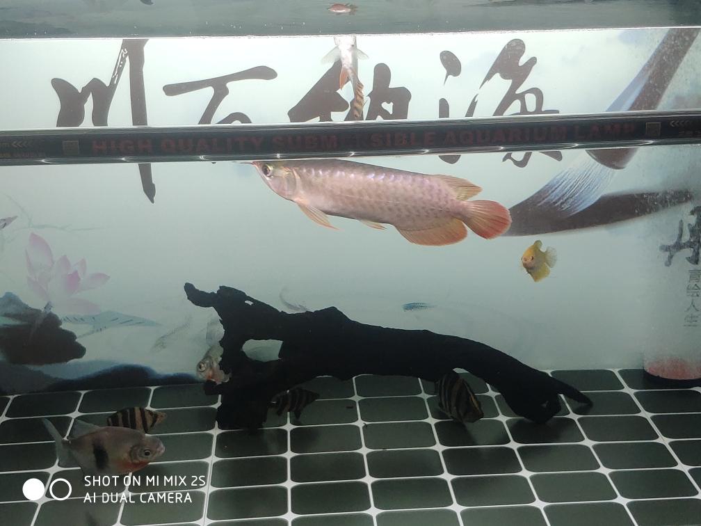 济南银龙鱼养几条风水好深夜记录成长 济南观赏鱼 济南龙鱼第4张