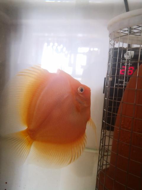 请大家看看这鱼是公是母? 鞍山水族批发市场 鞍山龙鱼第1张