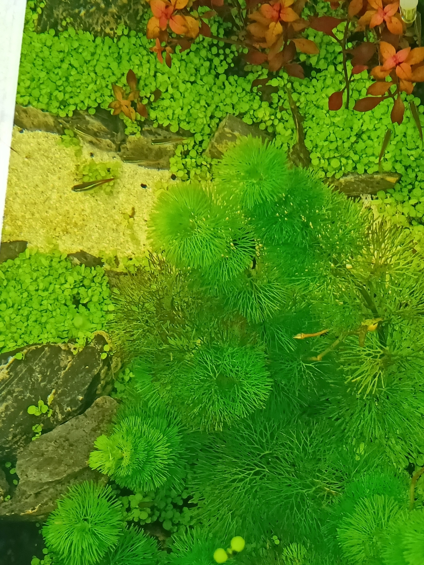 今南京粗线银板价格天看见草和石头上有些褐色东西南京亚克力水族箱 南京水族批发市场 南京龙鱼第1张