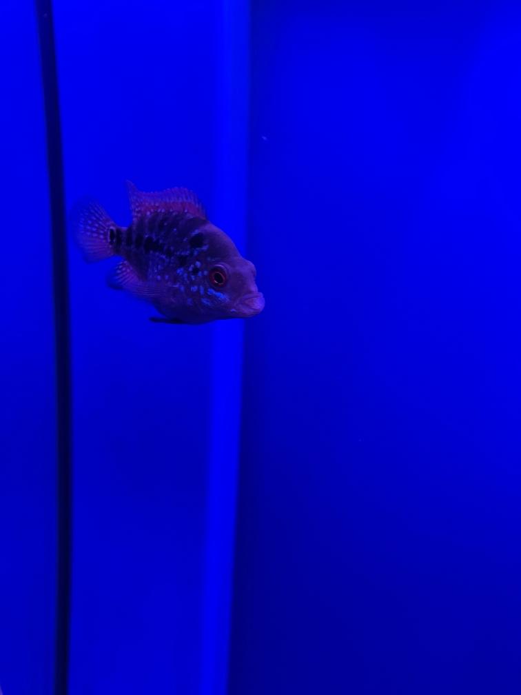从某宝网买的罗汉鱼苗帮我看看能起头吗 温州龙鱼论坛 温州龙鱼第2张