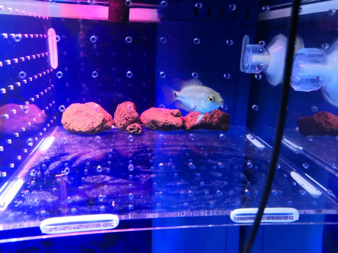 初三开学放假第一周跟西安珍珠魟鱼新 西安观赏鱼信息 西安博特第9张