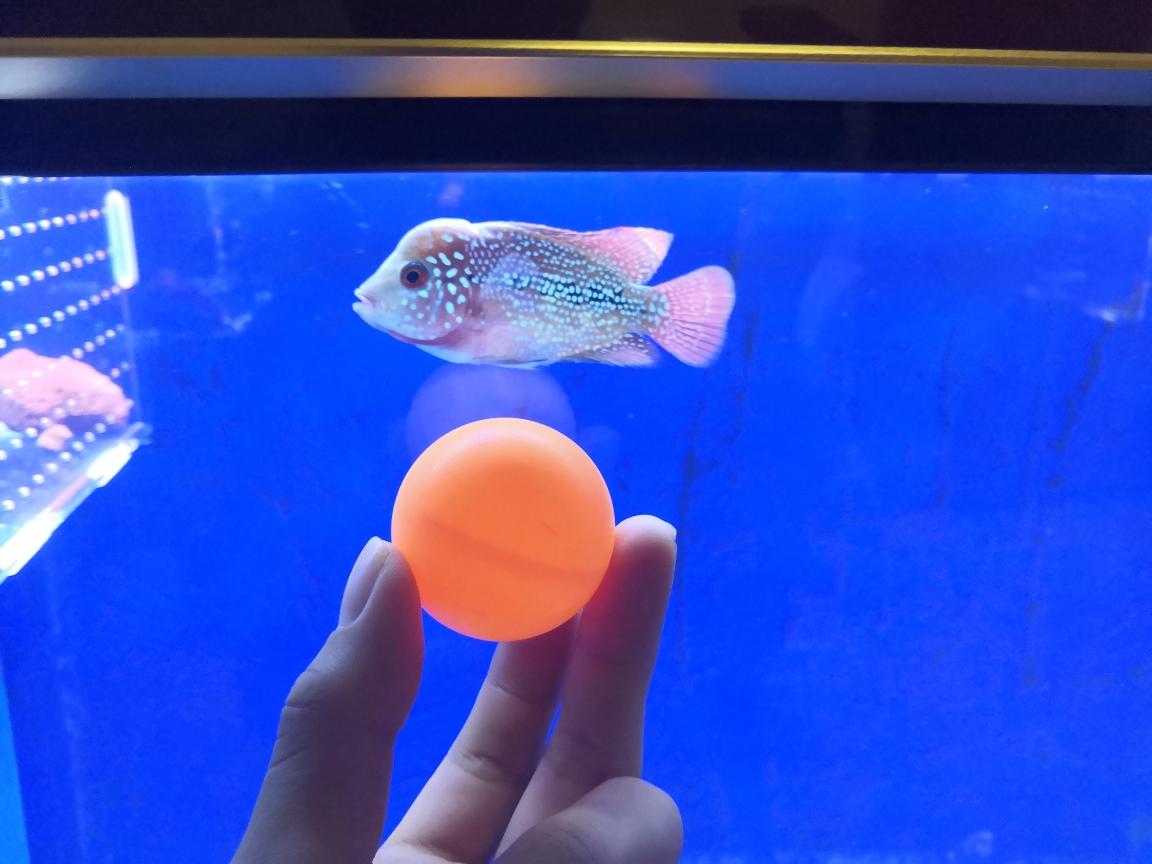 初三开学放假第一周跟西安珍珠魟鱼新 西安观赏鱼信息 西安博特第1张