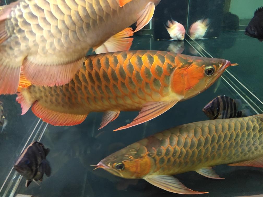 气温一下来颜色就回来了 西宁观赏鱼 西宁龙鱼第3张