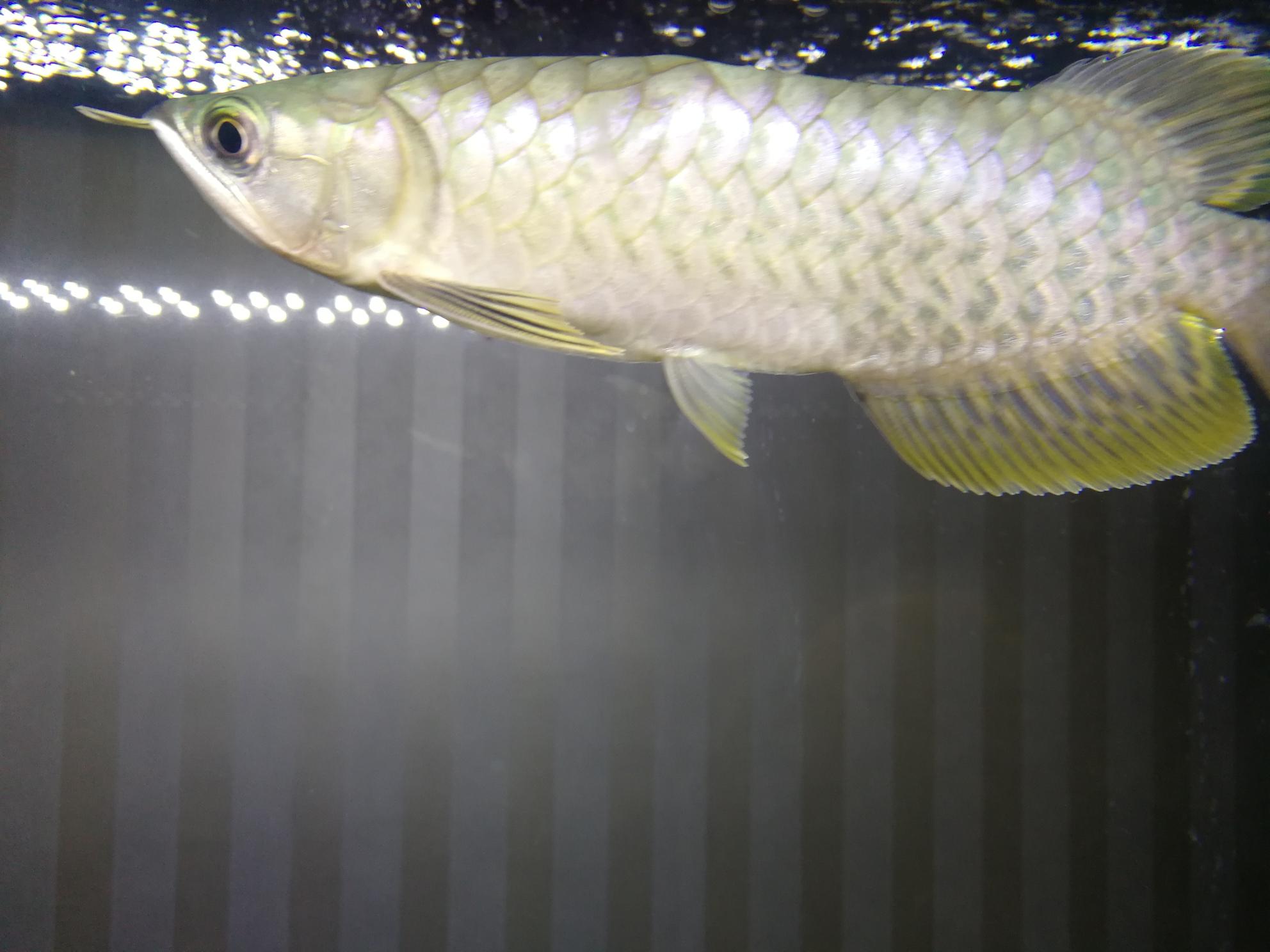 大家帮忙看看这是什么龙鱼 温州龙鱼论坛 温州龙鱼第2张