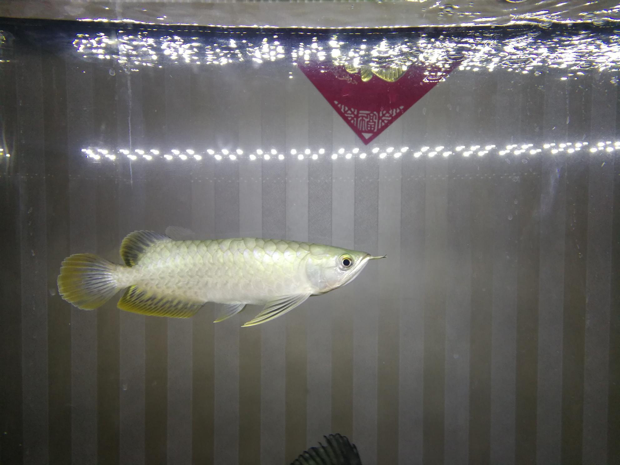 大家帮忙看看这是什么龙鱼