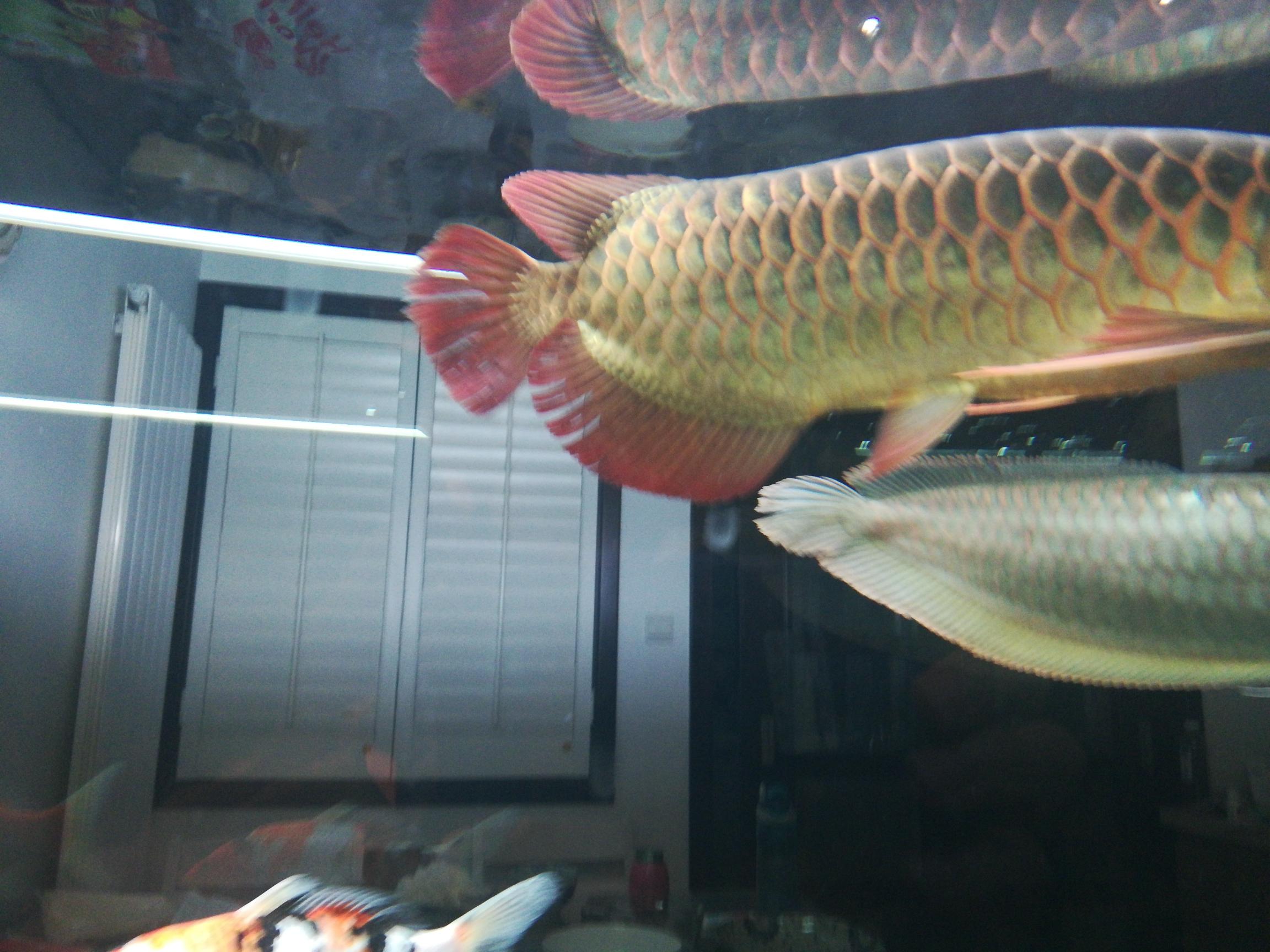 中秋节回来这尾巴受伤更严重了唉缸霸是银龙红龙只有挨打的份 鞍山水族批发市场 鞍山龙鱼第2张