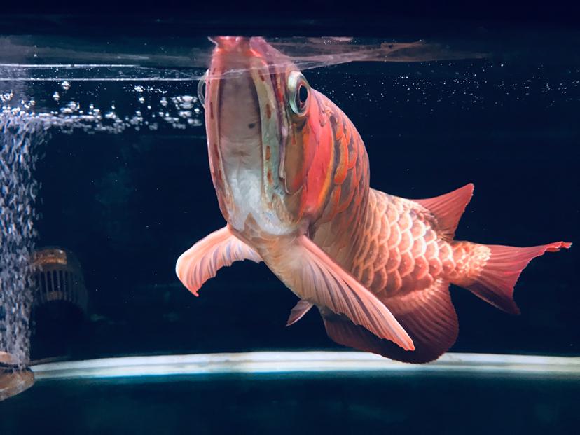 哈尔滨龙鱼批发可以在这个周末发布 哈尔滨龙鱼论坛 哈尔滨龙鱼第2张