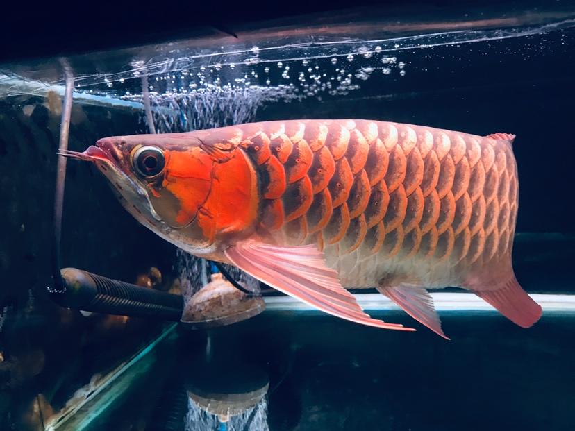 哈尔滨龙鱼批发可以在这个周末发布 哈尔滨龙鱼论坛 哈尔滨龙鱼第9张