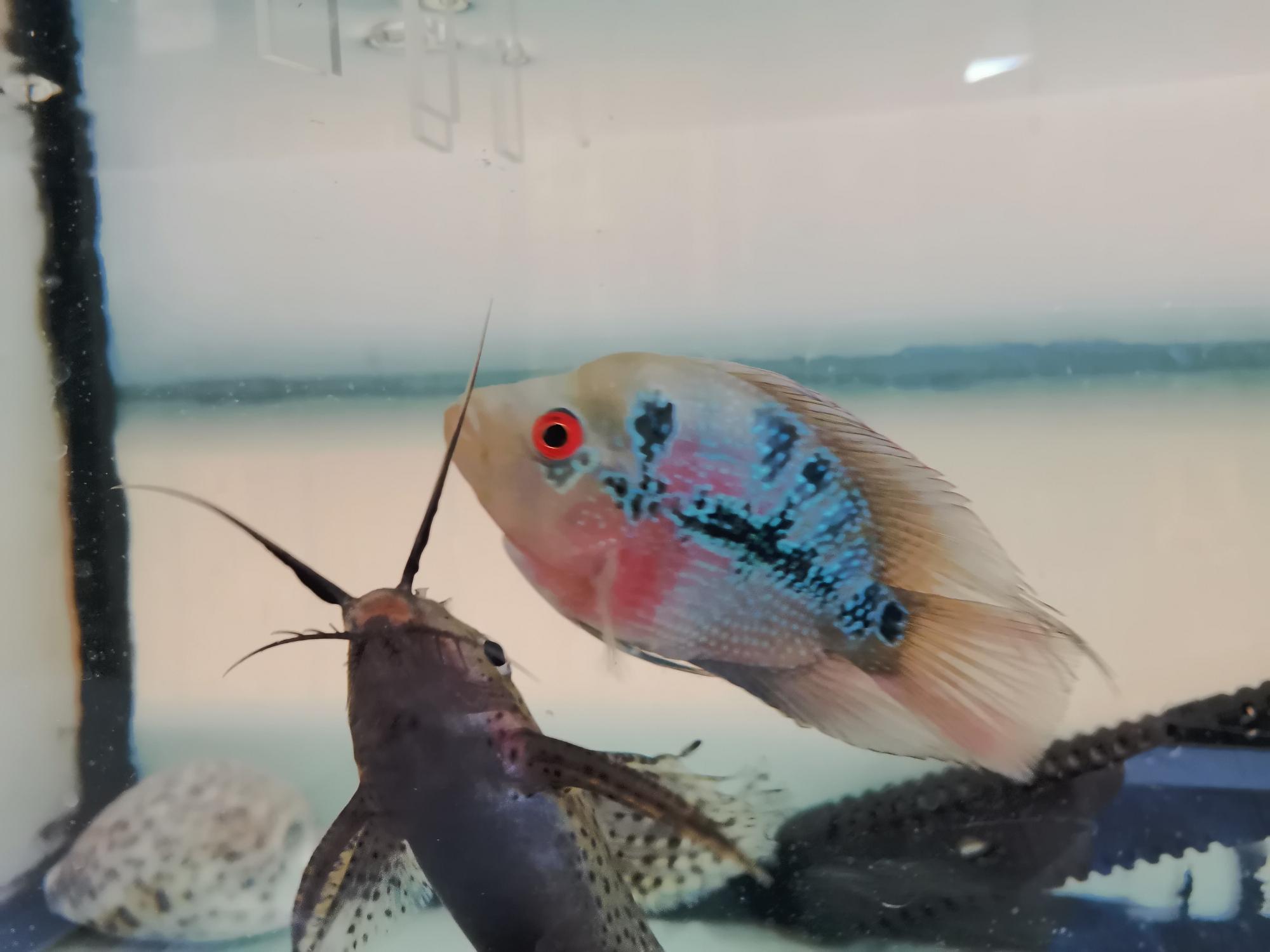 这是麒麟鹦鹉吧? 西安龙鱼论坛 西安龙鱼第9张