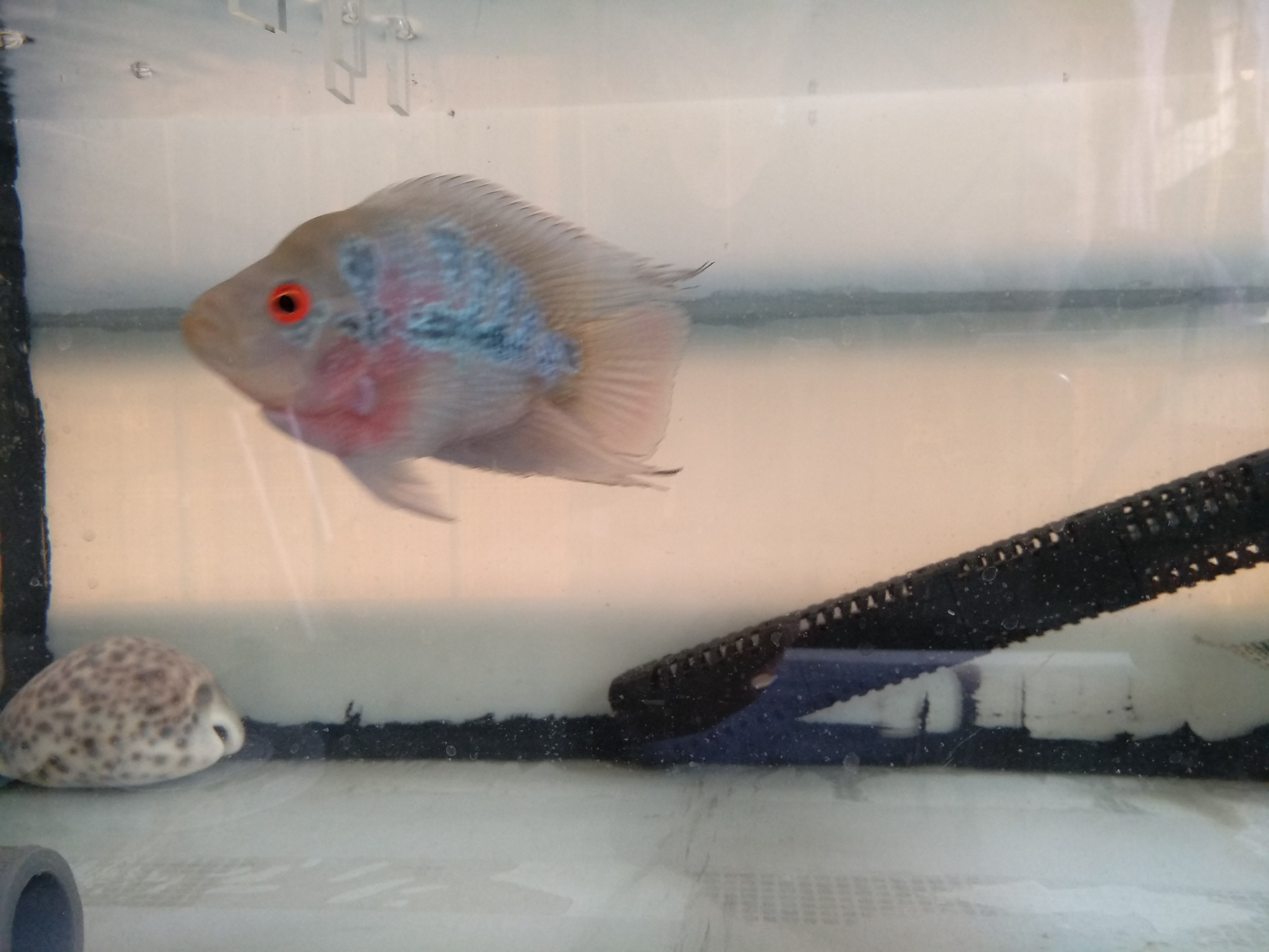 这是麒麟鹦鹉吧? 西安龙鱼论坛 西安龙鱼第8张