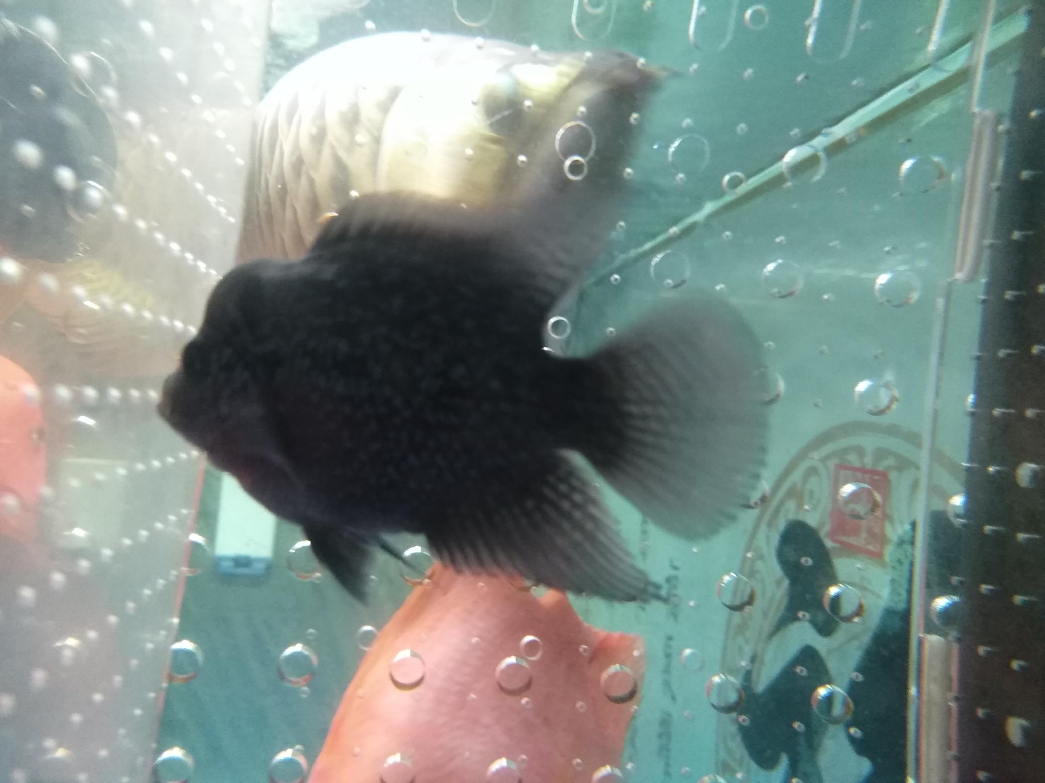 记录瓜子的成长 龙鱼百科 龙鱼饲料第4张