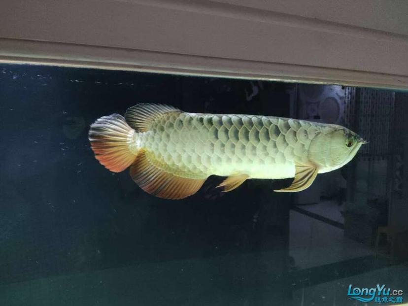立达七彩过背金龙表现未来可期 龙鱼养殖知识 龙鱼饲料第2张