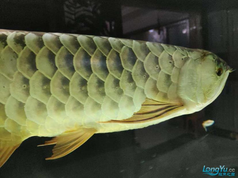 立达七彩过背金龙表现未来可期 龙鱼养殖知识 龙鱼饲料第1张