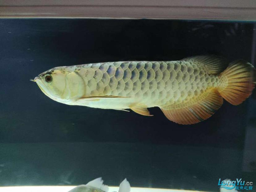 立达七彩过背金龙表现未来可期 龙鱼养殖知识 龙鱼饲料第4张