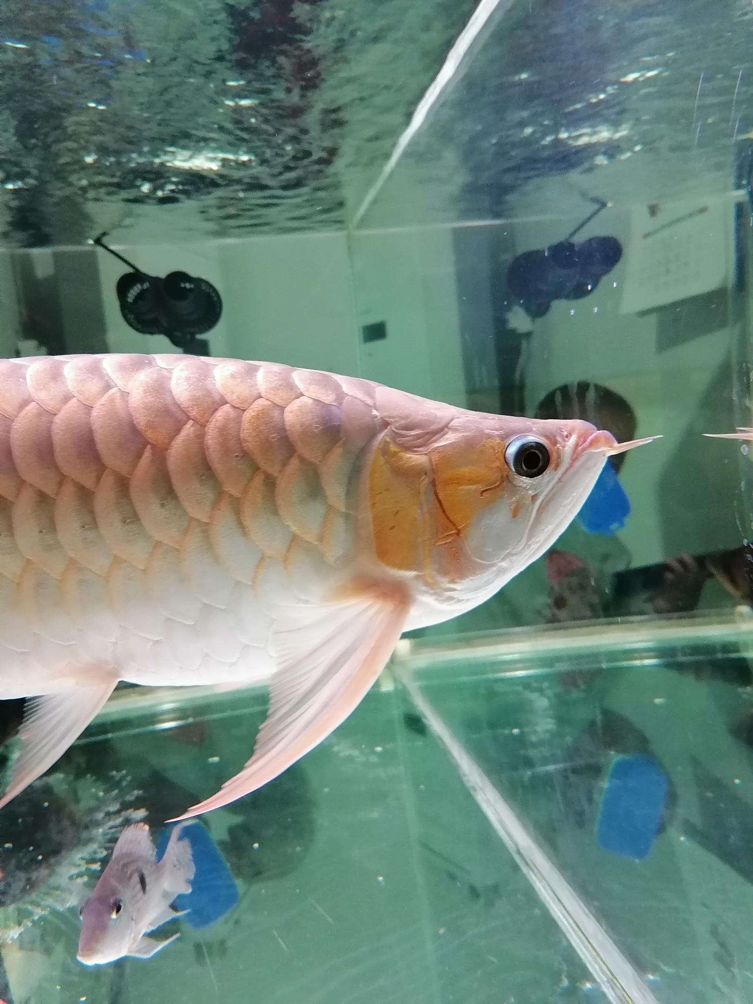 大神们看看这鱼的颜色还能不能再加深变红 西宁龙鱼论坛 西宁龙鱼第2张