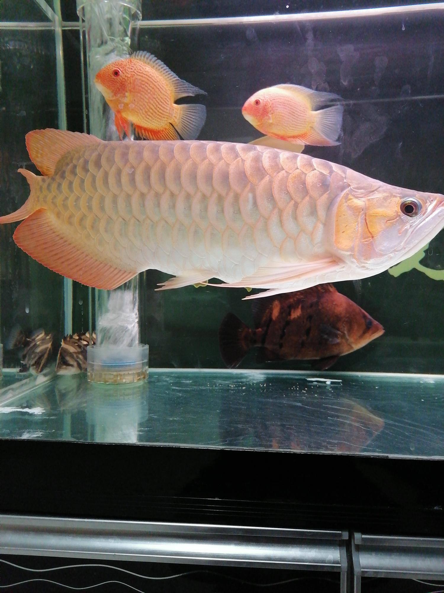 大神们看看这鱼的颜色还能不能再加深变红 西宁龙鱼论坛 西宁龙鱼第4张