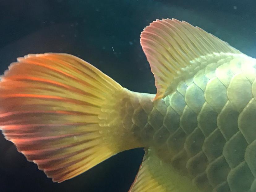 龙鱼尾鳍和背鳍上的白点小包 北京观赏鱼 北京龙鱼第5张
