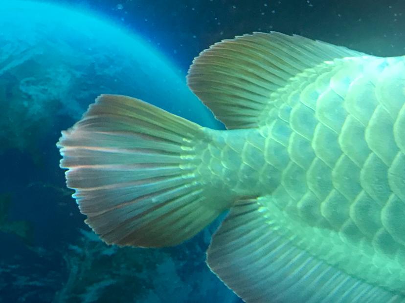 龙鱼尾鳍和背鳍上的白点小包 北京观赏鱼 北京龙鱼第4张