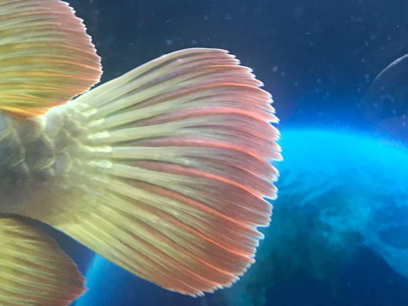 龙鱼尾鳍和背鳍上的白点小包 北京观赏鱼 北京龙鱼第3张