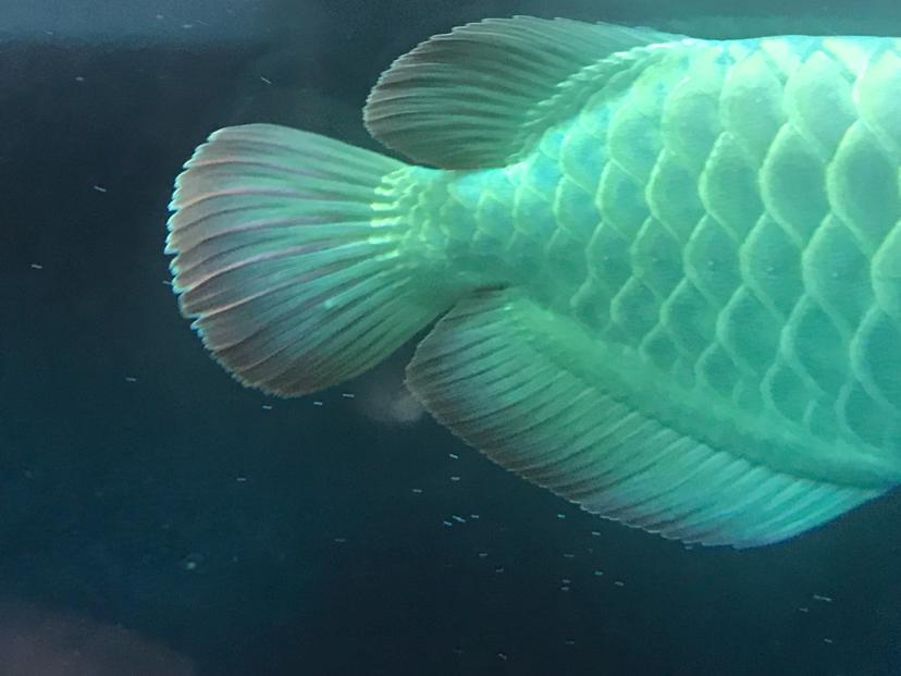 龙鱼尾鳍和背鳍上的白点小包 北京观赏鱼 北京龙鱼第2张
