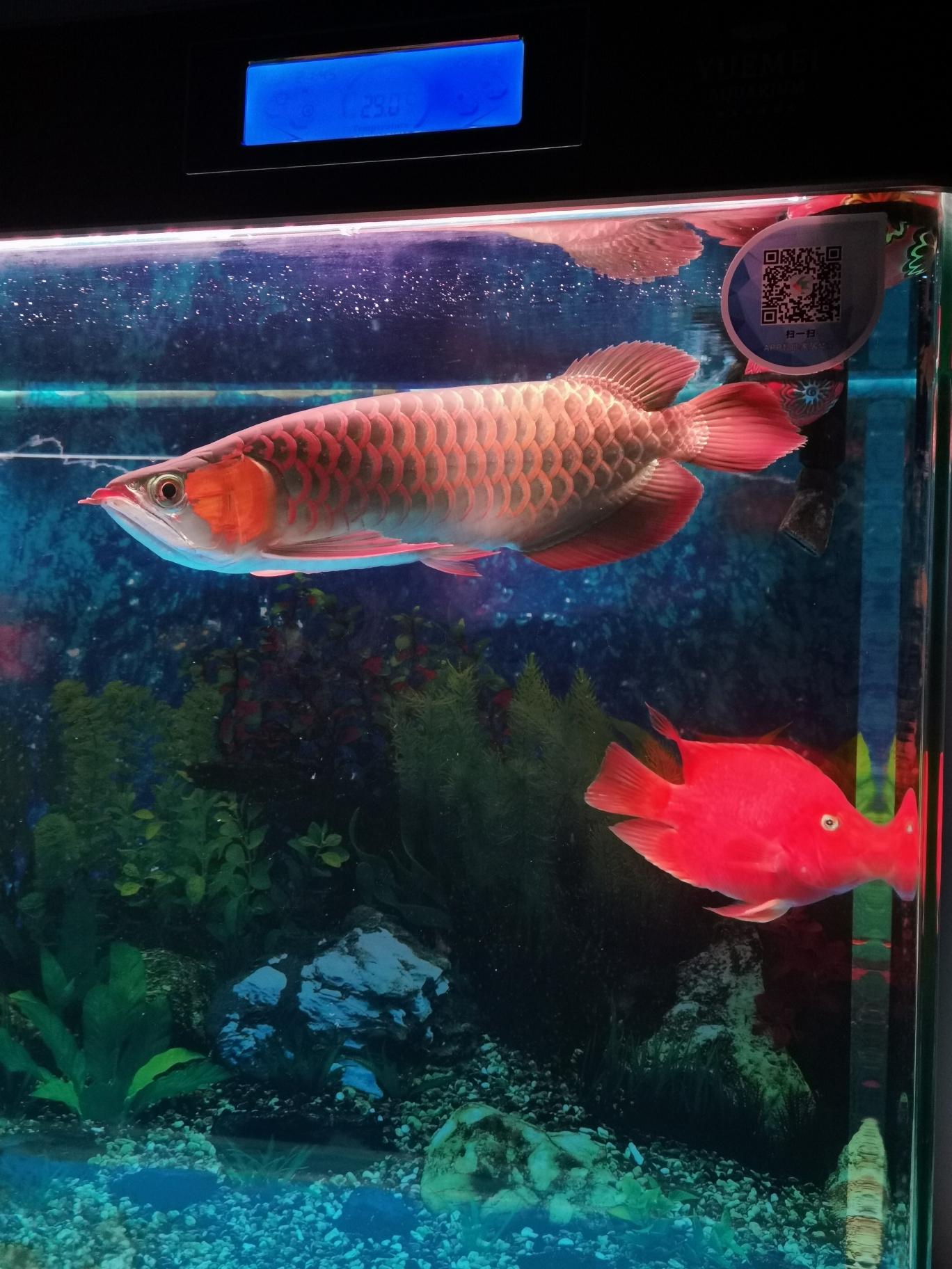哈尔滨哪卖观赏鱼不喜欢吃冷冻蝗虫 哈尔滨水族批发市场 哈尔滨龙鱼第2张