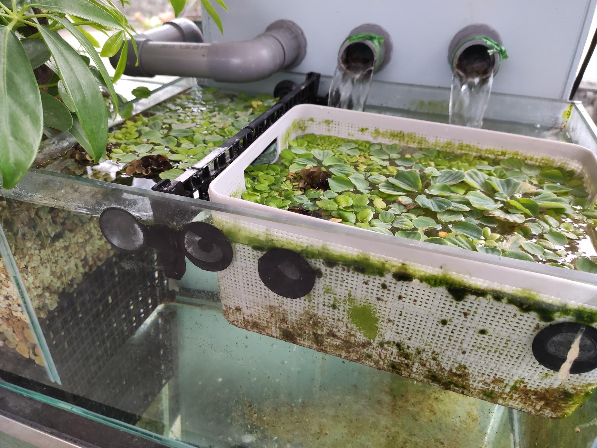 褐藻为何消失了? 台州水族批发市场 台州水族批发市场第6张