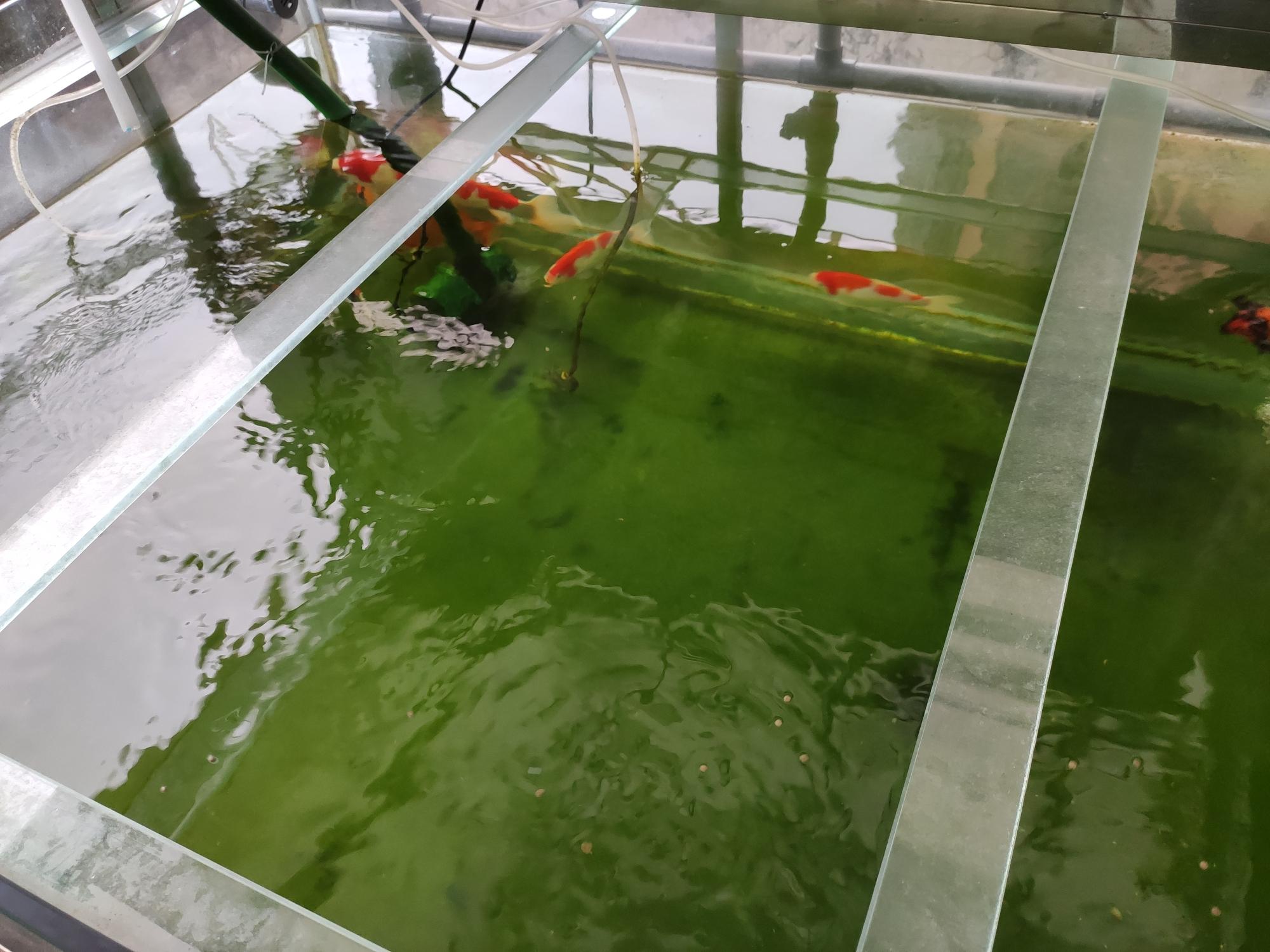 褐藻为何消失了?