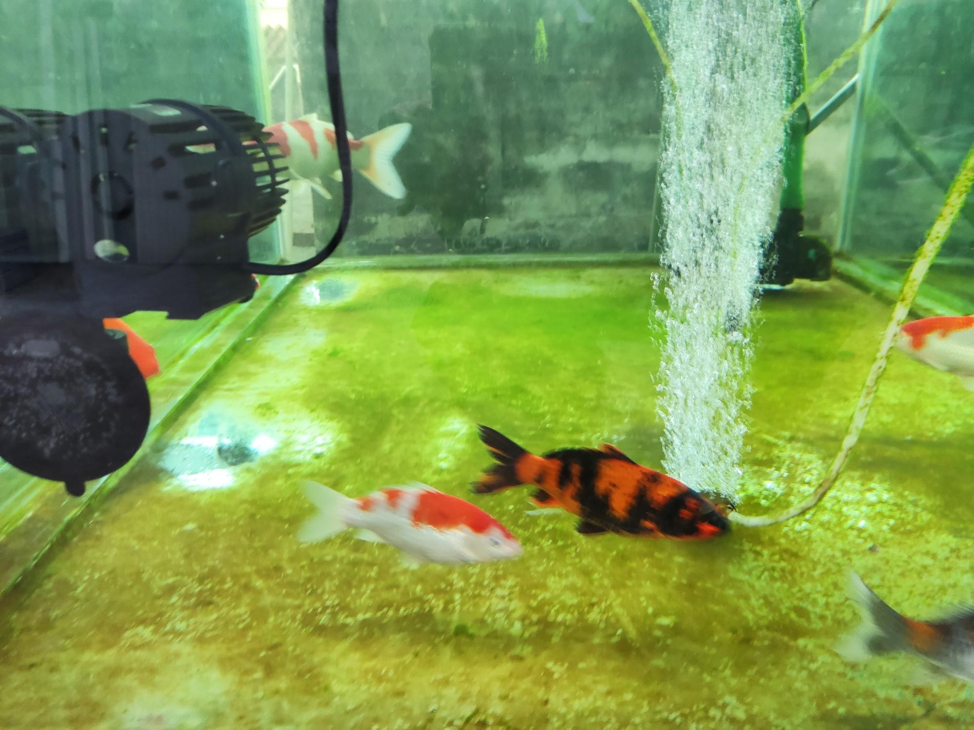 褐藻为何消失了? 台州水族批发市场 台州水族批发市场第9张