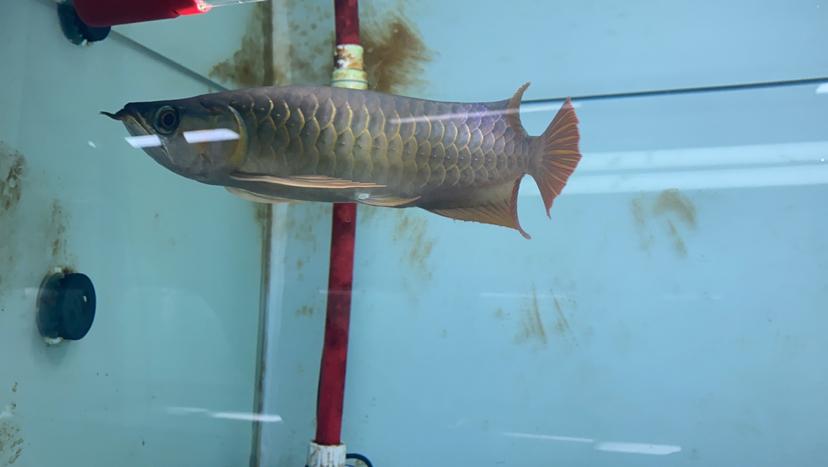 孟吉尔~孟吉尔红外线F1翘头 杭州龙鱼论坛 杭州龙鱼第2张