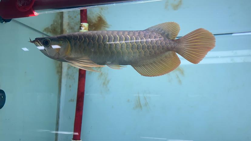 孟吉尔~孟吉尔红外线F1翘头 杭州龙鱼论坛 杭州龙鱼第4张
