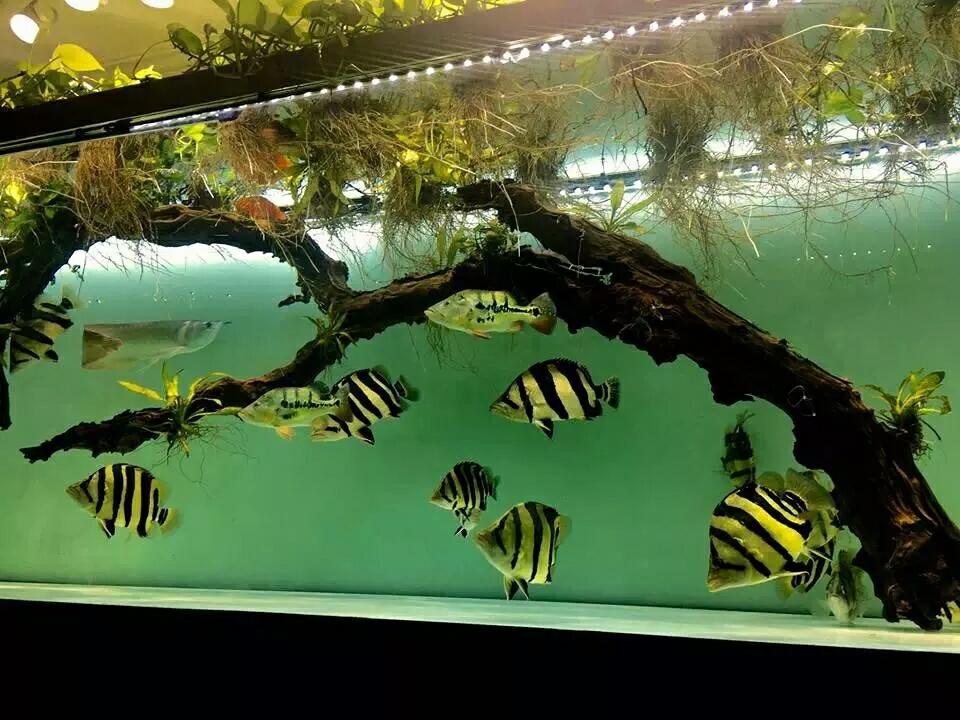 沈阳黄金大帆鱼如何及时发现会造成鱼得病的隐患避免鱼得病 沈阳水族批发市场 沈阳龙鱼第10张