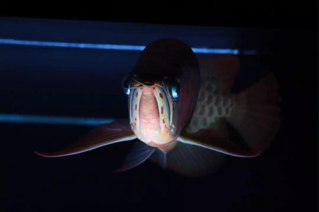 沈阳黄金大帆鱼如何及时发现会造成鱼得病的隐患避免鱼得病 沈阳水族批发市场 沈阳龙鱼第7张